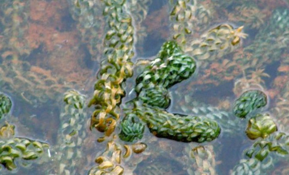 Curly Waterweed